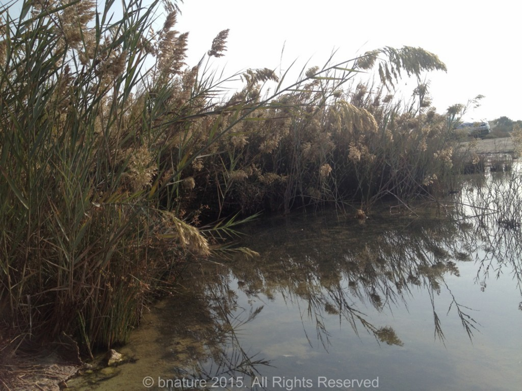 Reed swamps